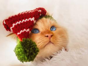 Hintergrundbilder Katze Schnauze Mütze Blick Tiere