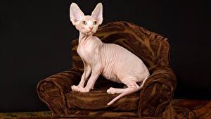 Bilder Katze Sphynx-Katze Schwarzer Hintergrund Sessel Tiere