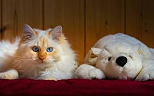 Bilder Katze Spielzeug Knuddelbär Blick ein Tier