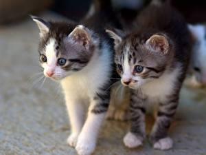 Bilder Katze Zwei Katzenjunges Blick