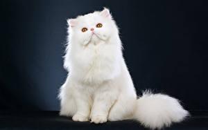 Image Cats White Sit Animals