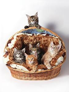 Hintergrundbilder Katze Weißer hintergrund Weidenkorb Kätzchen