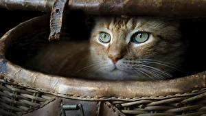 Fotos Hauskatze Weidenkorb Blick ein Tier