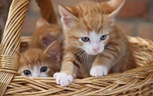 Wallpaper Cats Wicker basket Kittens Glance 2 Red orange animal