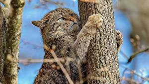 Photo Cats Trunk tree Paws Wildcat Animals