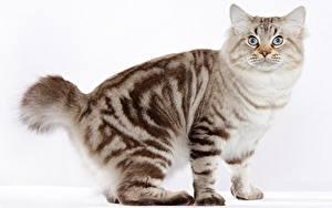 Fotos Katze Grauer Hintergrund american bobtail Tiere