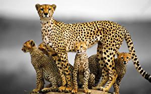 Fotos Gepard Jungtiere Große Katze