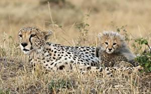 Bilder Gepard Jungtiere Große Katze Gras Tiere