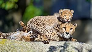 Bilder Gepard Babys Starren ein Tier