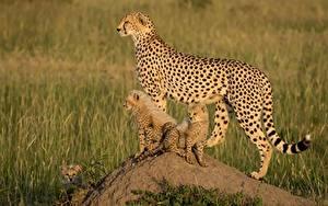 Bilder Gepard Jungtiere Drei 3