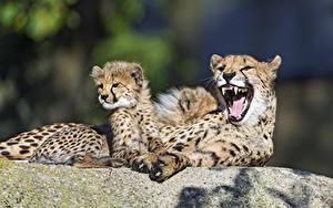 Bilder Gepard Jungtiere 2 Grinsen ©Tambako The Jaguar