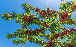 Wallpaper Cherry Branches Leaf Nature