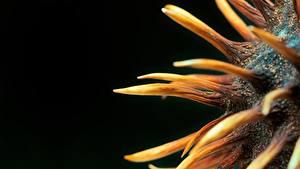 Hintergrundbilder Kastanien Makrofotografie Großansicht Schwarzer Hintergrund Natur