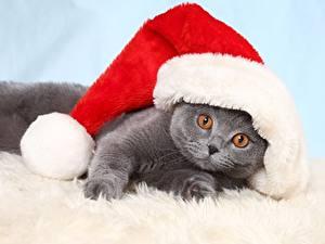 Bilder Neujahr Hauskatze Kätzchen Mütze Lustige Liegen