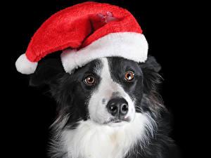 Hintergrundbilder Neujahr Hunde Schwarzer Hintergrund Schnauze Mütze Border Collie Tiere