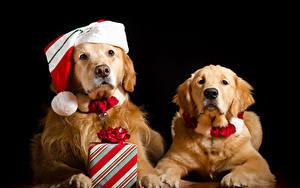 Hintergrundbilder Neujahr Hunde Golden Retriever Schwarzer Hintergrund Zwei Mütze Geschenke Blick ein Tier