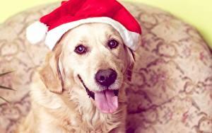 Hintergrundbilder Neujahr Hund Golden Retriever Mütze Zunge Schnauze