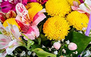 Bilder Chrysanthemen Alstroemeria Nahaufnahme Blumen