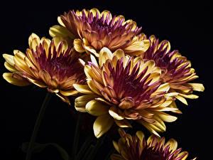 Hintergrundbilder Chrysanthemen Hautnah Schwarzer Hintergrund Blüte