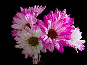 Bilder Chrysanthemen Nahaufnahme Schwarzer Hintergrund Blüte
