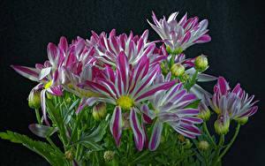 Hintergrundbilder Chrysanthemen Großansicht Schwarzer Hintergrund Knospe Blumen
