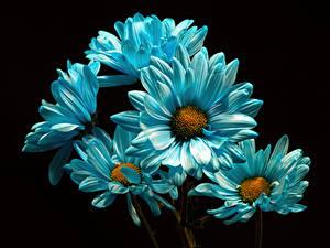 Bilder Chrysanthemen Hautnah Schwarzer Hintergrund Hellblau Blüte