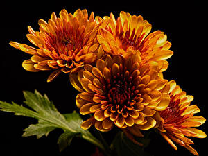 桌面壁纸,,菊花,特寫,黑色背景,橙色,花卉