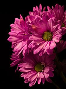 Fotos Chrysanthemen Großansicht Schwarzer Hintergrund Rosa Farbe Blüte