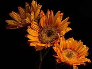 Fotos Chrysanthemen Nahaufnahme Schwarzer Hintergrund Drei 3 Orange Blumen
