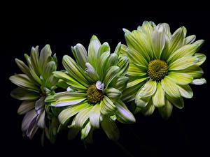 Bilder Chrysanthemen Hautnah Schwarzer Hintergrund Drei 3 Grün Blumen