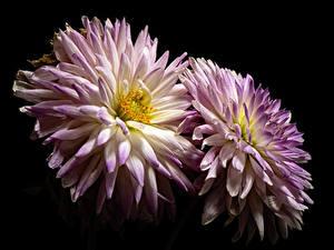 Fotos Chrysanthemen Hautnah Schwarzer Hintergrund 2 Blüte