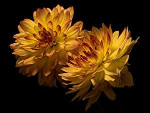 Bilder Chrysanthemen Hautnah Schwarzer Hintergrund 2 Gelb Blüte