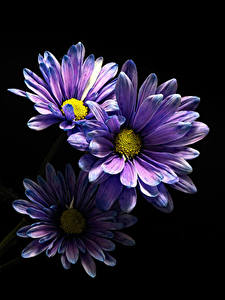 Fotos Chrysanthemen Großansicht Schwarzer Hintergrund Violett Drei 3 Blüte