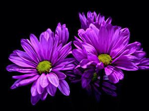 デスクトップの壁紙、、菊、クローズアップ、黒色背景、菫色、花