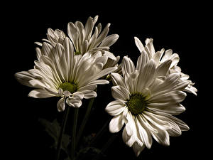 Hintergrundbilder Chrysanthemen Nahaufnahme Schwarzer Hintergrund Weiß Natur