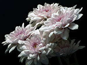 Bilder Chrysanthemen Hautnah Schwarzer Hintergrund Weiß Blüte