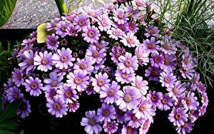 Hintergrundbilder Cineraria Hautnah Violett Blumen