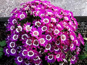 桌面壁纸,,瓜叶菊属,很多,特寫,雪青色,花卉