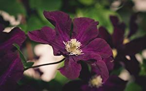 Fotos Waldreben Hautnah Unscharfer Hintergrund Violett Blüte