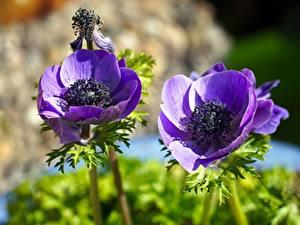 Hintergrundbilder Großansicht Anemone Bokeh Violett Blumen