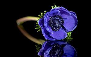 Fotos Großansicht Windröschen Spiegelung Spiegelbild Blau Blüte