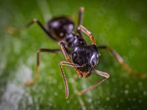 Fotos Großansicht Ameisen Insekten Unscharfer Hintergrund Tiere
