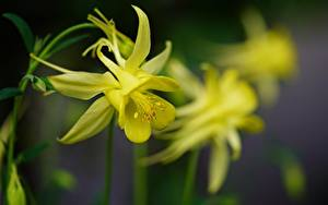 Fotos Nahaufnahme Unscharfer Hintergrund Gelb Aquilegia Columbine Blumen