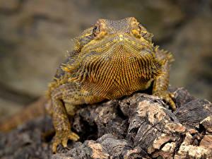 Hintergrundbilder Hautnah Echsen Unscharfer Hintergrund Bearded Dragon, Pogona ein Tier