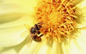 Tapety na pulpit Z bliska Pszczoła Owady zwierzę
