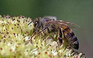 Hintergrundbilder Nahaufnahme Bienen Insekten Bokeh ein Tier