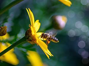 Hintergrundbilder Nahaufnahme Bienen Insekten Unscharfer Hintergrund Gelb ein Tier