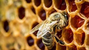 Bilder Großansicht Bienen Insekten Bienenwabe ein Tier