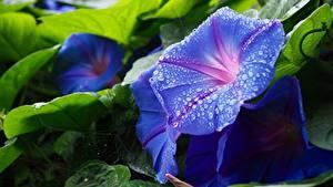 Fotos Hautnah Winden Tropfen Hellblau Blumen