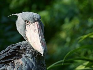 Bilder Großansicht Vogel Unscharfer Hintergrund Kopf Schnabel Shoebill